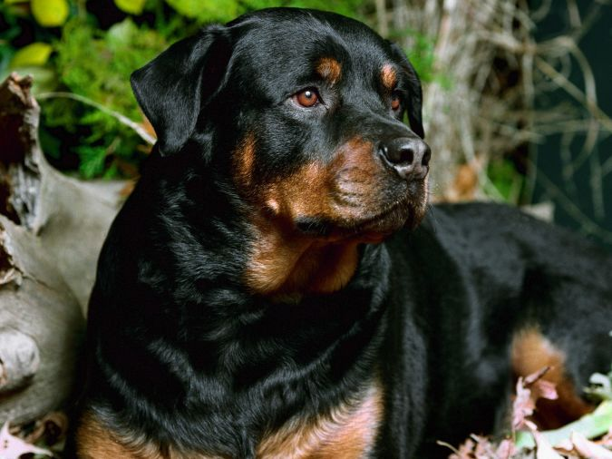 Rottweiler What Are the Most Popular Dog Breeds in the World?