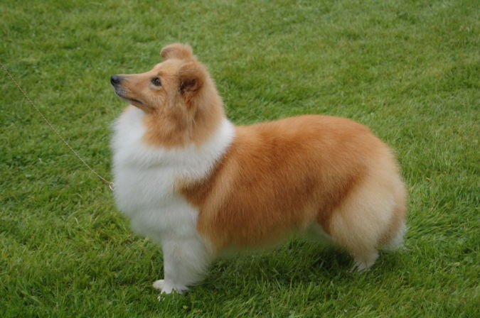 Shetland-Sheepdog-2 Top 10 Smartest Dog Breeds in the World