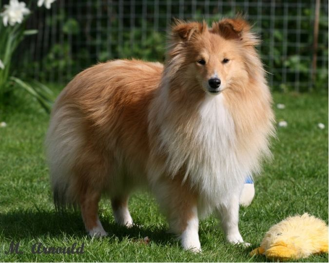 Shetland-Sheepdog Top 10 Smartest Dog Breeds in the World