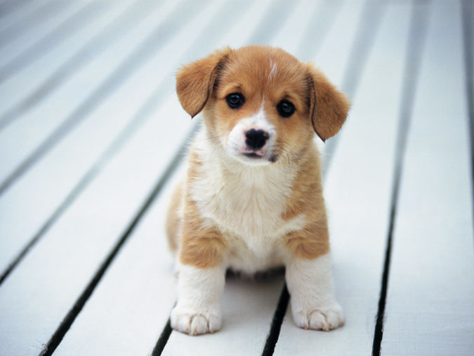 beagle-puppies-puppy-fun What Are the Most Popular Dog Breeds in the World?