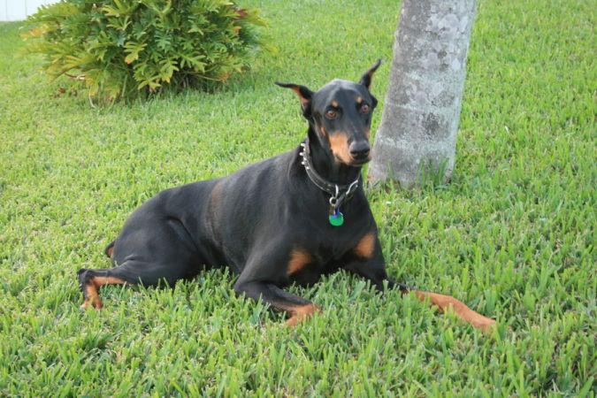 beautiful_doberman_pinscher_by_emilytheblonde Top 10 Smartest Dog Breeds in the World