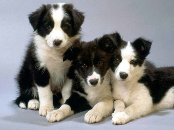 border-collie-puppies-15 Top 10 Smartest Dog Breeds in the World