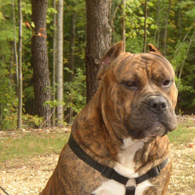 """caes-presa-canario """"Watch out"""" and Keep Away from These 10 Most Dangerous Dogs"""