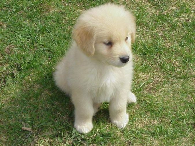 cute-puppy-dogs-golden-retriever Top 10 Smartest Dog Breeds in the World