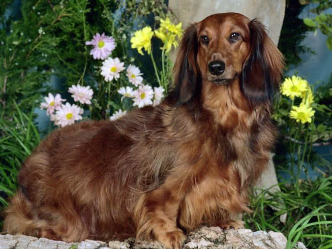 dachshund-dog What Are the Most Popular Dog Breeds in the World?