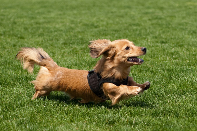 dachshund What Are the Most Popular Dog Breeds in the World?