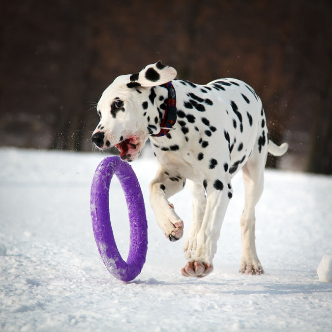 """dalmatian_puppy_by_deingel_dog_stock """"Watch out"""" and Keep Away from These 10 Most Dangerous Dogs"""