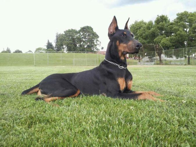 doberman-pinscher Top 10 Smartest Dog Breeds in the World