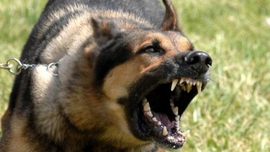 "Photo of ""Watch out"" and Keep Away from These 10 Most Dangerous Dogs"