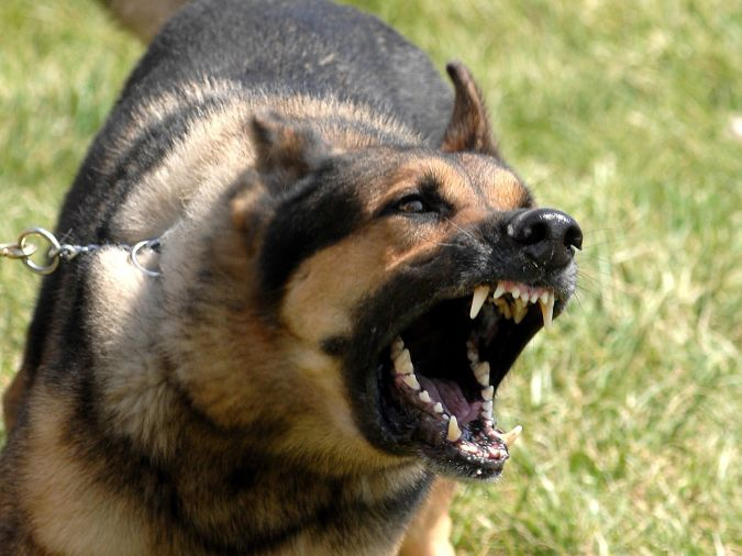 """german-shepherd-open-the-big-mouth_93829-1600x1200 """"Watch out"""" and Keep Away from These 10 Most Dangerous Dogs"""