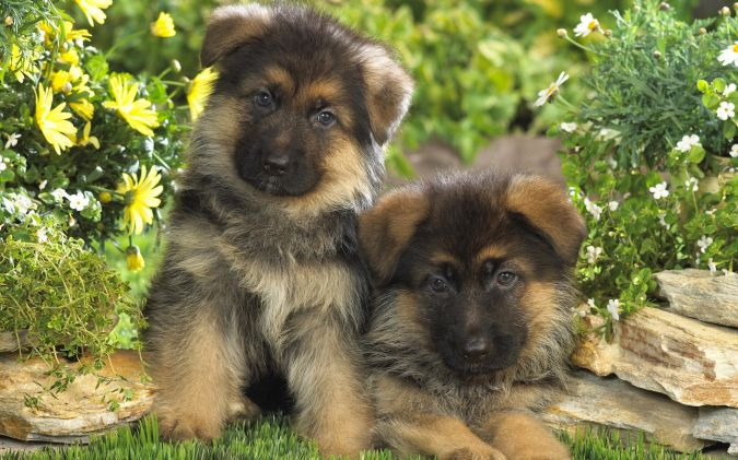 german-shepherd-wall-together-pup What Are the Most Popular Dog Breeds in the World?