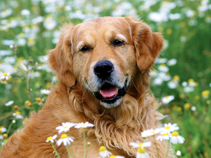 golden_retriever Top 10 Smartest Dog Breeds in the World