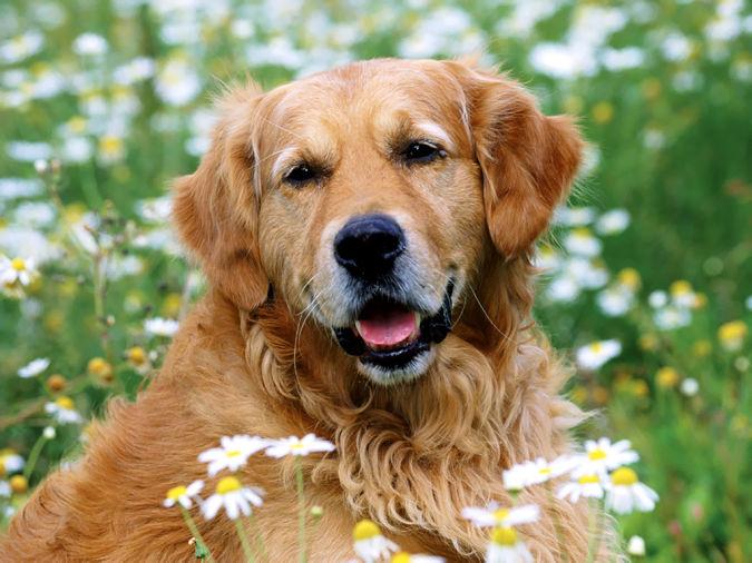 golden_retriever Top 10 Smartest Dog Breeds in the World