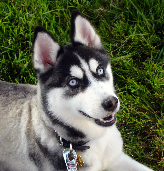 "happy-siberian-husky-dog-photo ""Watch out"" and Keep Away from These 10 Most Dangerous Dogs"