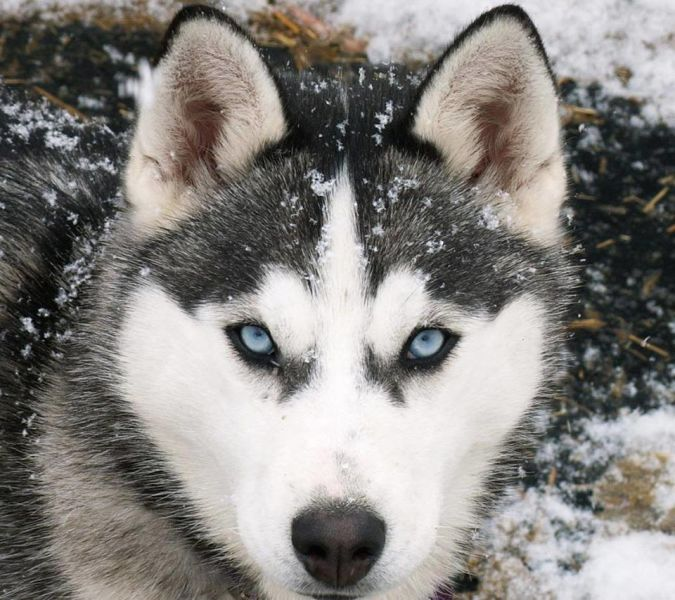 "husky ""Watch out"" and Keep Away from These 10 Most Dangerous Dogs"