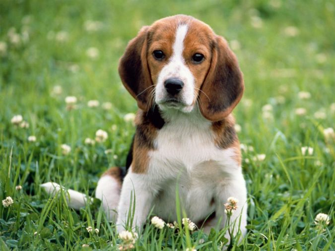 kerry-beagle-dog-in-flowers-photo What Are the Most Popular Dog Breeds in the World?