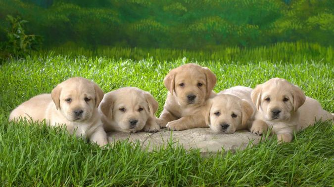 labrador-retriever-puppies-wallpapers-12 What Are the Most Popular Dog Breeds in the World?