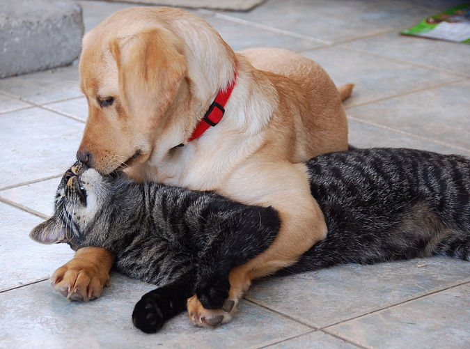 labrador-retriever-puppy-kisses-cat What Are the Most Popular Dog Breeds in the World?