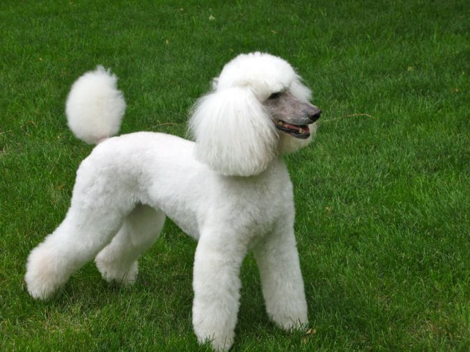 poodle Top 10 Smartest Dog Breeds in the World
