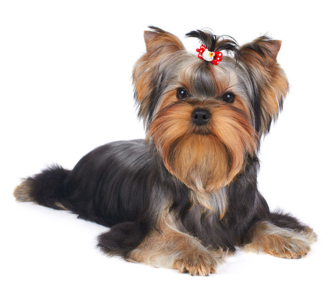 puppy-of-the-yorkshire-terrier-konstantin-gushcha What Are the Most Popular Dog Breeds in the World?