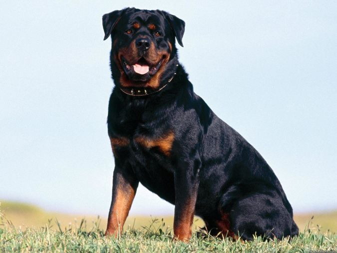 rottweiler-adult-sitting-on-ground What Are the Most Popular Dog Breeds in the World?