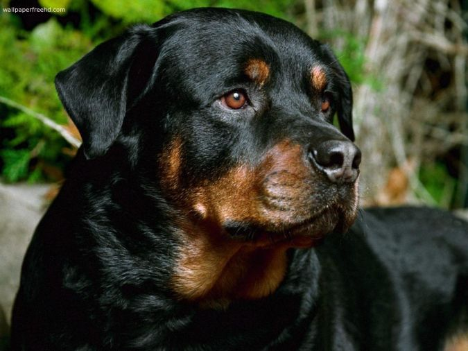 rottweiler-dog-face-photo Top 10 Smartest Dog Breeds in the World