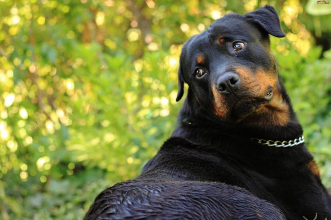 rottweiler-zielen Top 10 Smartest Dog Breeds in the World