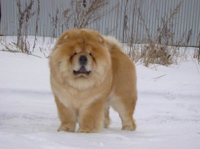 "sweet-chow-chow-dogs-chow-on-the-snow ""Watch out"" and Keep Away from These 10 Most Dangerous Dogs"