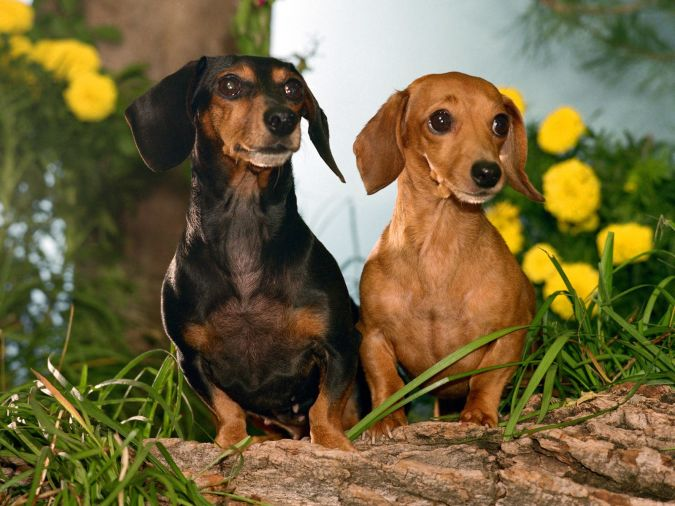 two-dachshunds What Are the Most Popular Dog Breeds in the World?