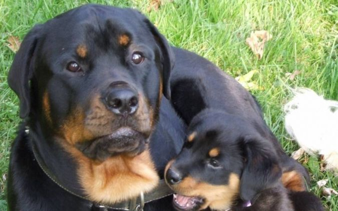 two-rottweiler What Are the Most Popular Dog Breeds in the World?