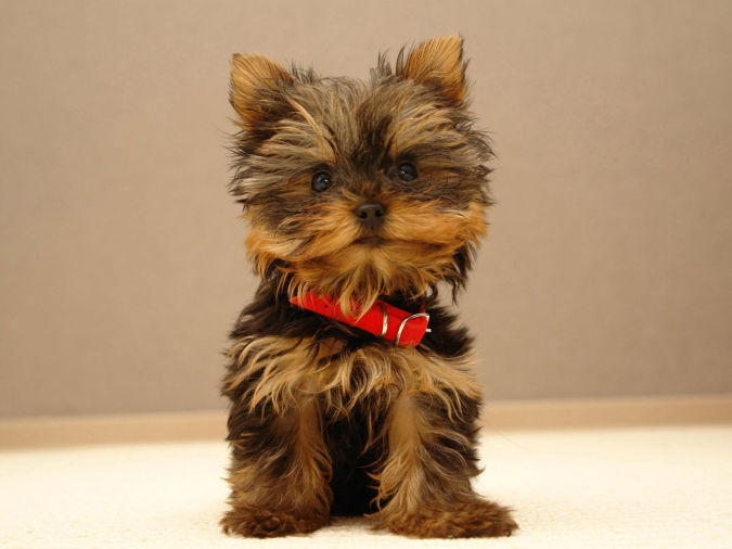 yorkshire_terrier- What Are the Most Popular Dog Breeds in the World?