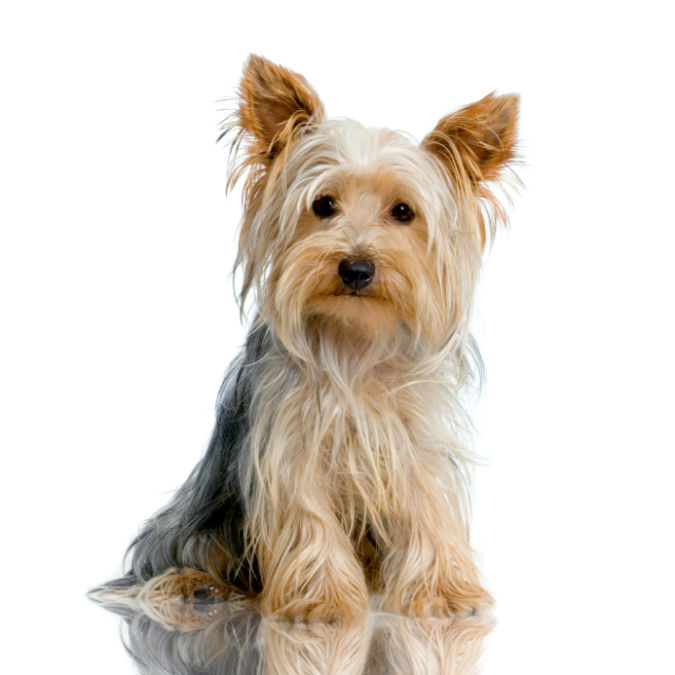 yorkshire_terrier What Are the Most Popular Dog Breeds in the World?
