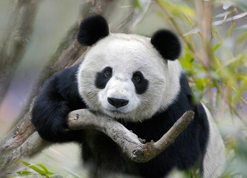 03-giant-panda-625x450_large Top 30 Cutest Animals