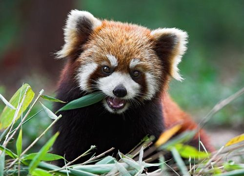08-red-panda-625x450_large1 Top 30 Cutest Animals