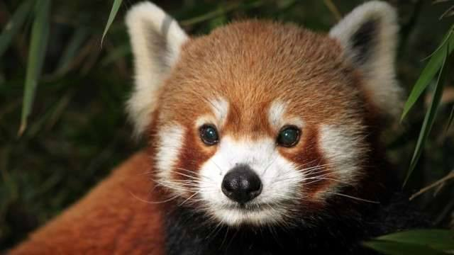 1011766_10152397180238357_1705792222_n The Red Pandas Are Generally Quiet Except Some Tweeting Or Whistling Communication Sounds