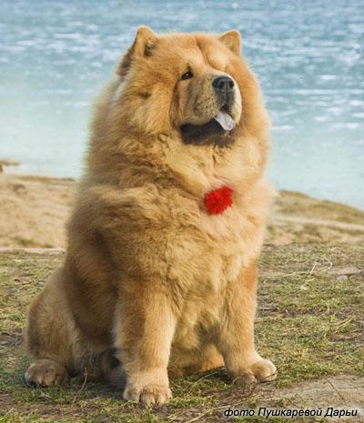101450925_chao2 Chow-Chow Dog Is Smart, Loyal And Good Companion