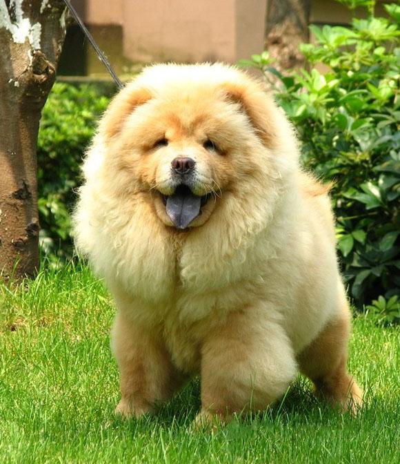12131073 Chow-Chow Dog Is Smart, Loyal And Good Companion