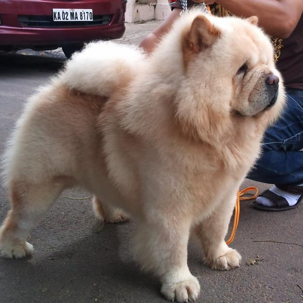1348651322_441560719_17-CHOW-CHOW-PUPPIES-Are-Available-For-Sale-Purchase-Contact-07275028884- Chow-Chow Dog Is Smart, Loyal And Good Companion