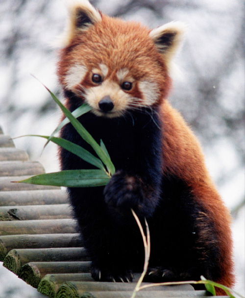 24 The Red Pandas Are Generally Quiet Except Some Tweeting Or Whistling Communication Sounds