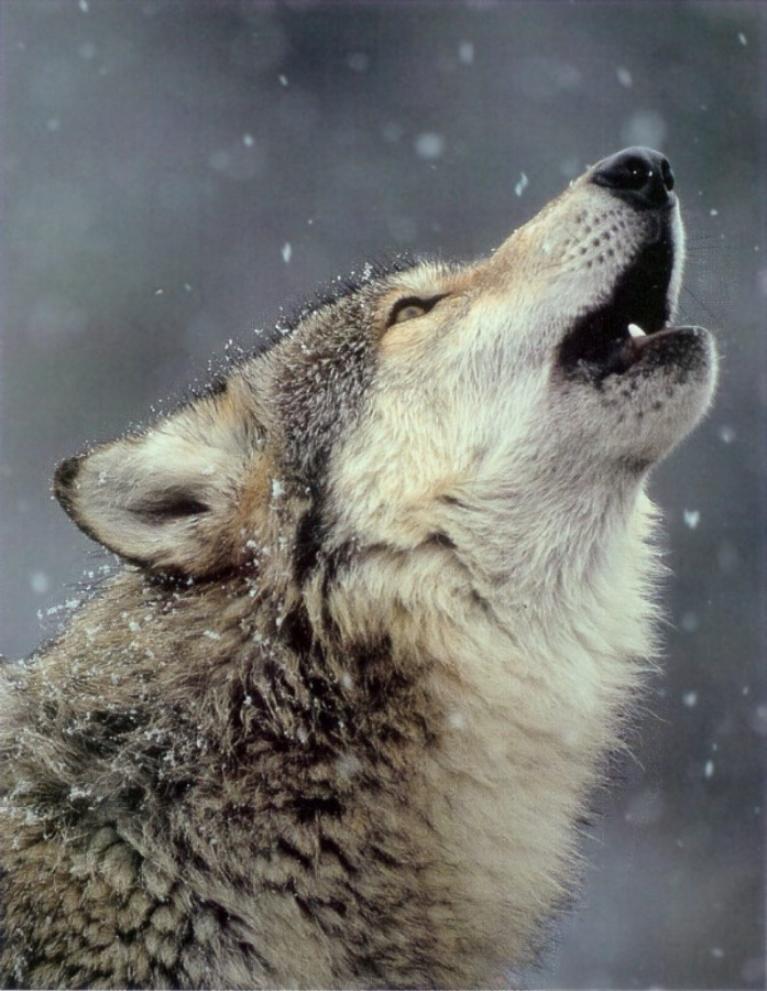 247698-wolf.jpg-howl-777 Gray Wolf Is A Keystone Predator Of The Ecosystem