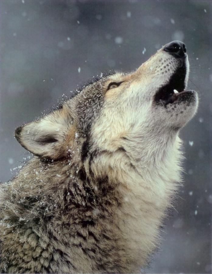 247698-wolf.jpg howl 777