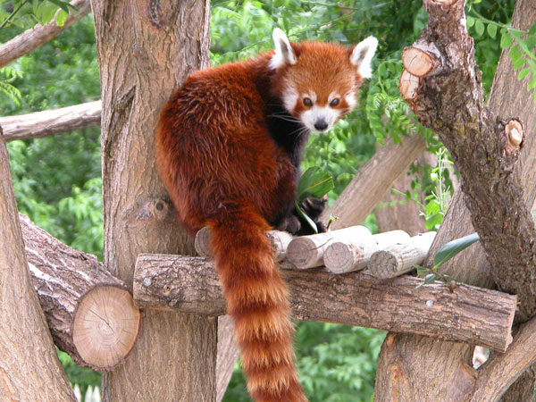 31 The Red Pandas Are Generally Quiet Except Some Tweeting Or Whistling Communication Sounds