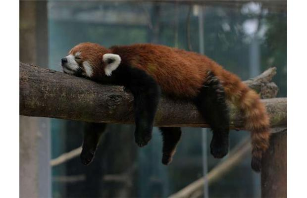 8571628 The Red Pandas Are Generally Quiet Except Some Tweeting Or Whistling Communication Sounds