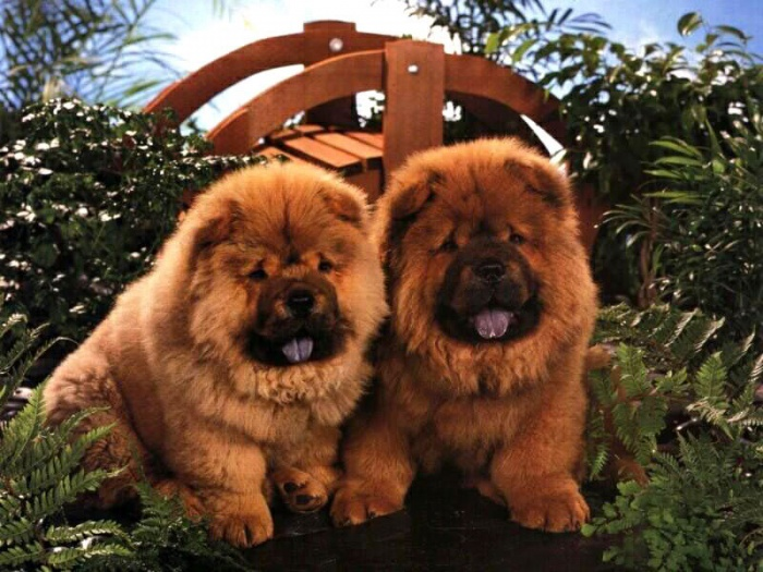 95 Chow-Chow Dog Is Smart, Loyal And Good Companion