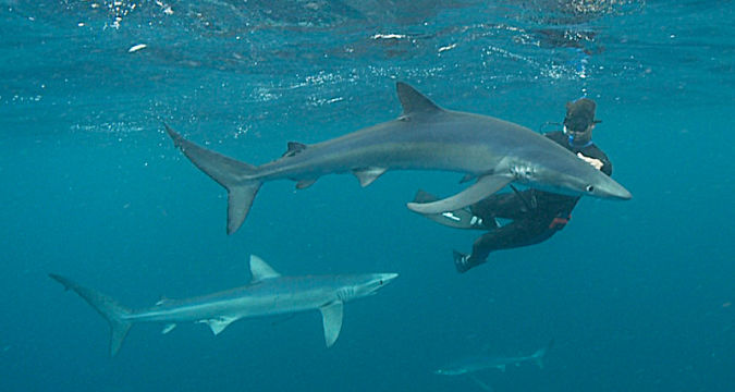 Photo of Why Mako Sharks The Fastest Among Other Sharks?