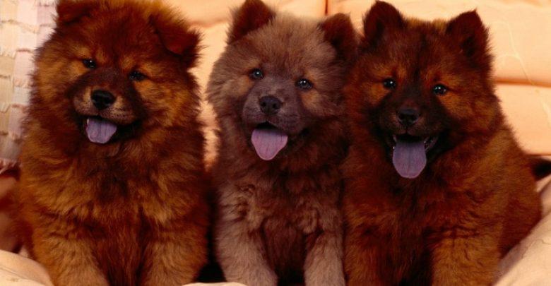 Photo of Chow-Chow Dog Is Smart, Loyal And Good Companion