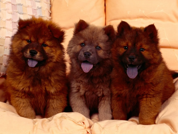 Chow-Chow-Puppies Chow-Chow Dog Is Smart, Loyal And Good Companion