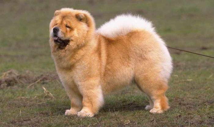 Chow-Chow Chow-Chow Dog Is Smart, Loyal And Good Companion