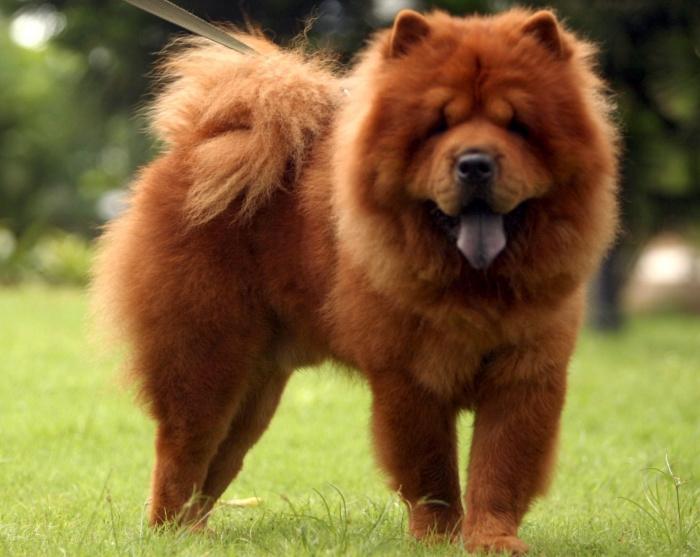 Chow-Chow1 Chow-Chow Dog Is Smart, Loyal And Good Companion