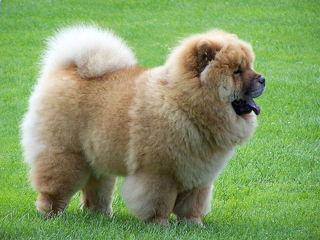 Chow-Chow3 Chow-Chow Dog Is Smart, Loyal And Good Companion